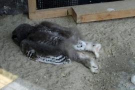 Как спят совята. Смешные фото