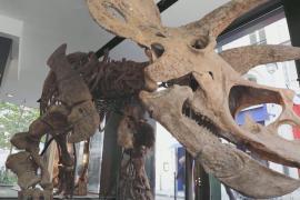 Скелет трицератопса планируют продать за 1,5 млн евро на торгах в Париже