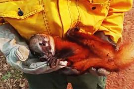 В Боливии спасают животных, пострадавших в лесных пожарах