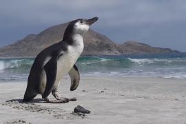 В Чили спасли заблудившегося пингвина Гумбольдта