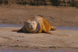 В устье Темзы подсчитали тюленей