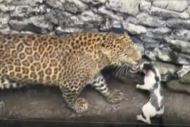 Леопард и кошка подружились, упав в колодец в Индии
