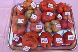 В Испании вручили премию «Самый уродливый помидор»