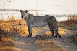 Не спугнуть льва: сафари на бесшумных авто запустили в Кении