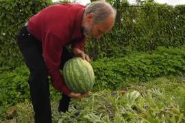 Экзотика на Волге: фермер выращивает арбузы из Голландии