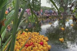 Заплыв пластиковых уток в английском городе Кентербери