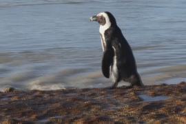 Пчёлы убили десятки пингвинов в ЮАР
