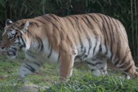 В зоопарке Вашингтона львы и тигры выздоравливают после COVID