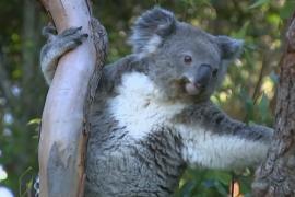 Австралия за три года потеряла треть коал