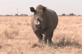 Спасать носорогов, продавая их рога, хочет заповедник в ЮАР