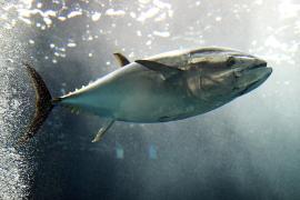 Впервые за 60 лет тунец возвращается в британские воды