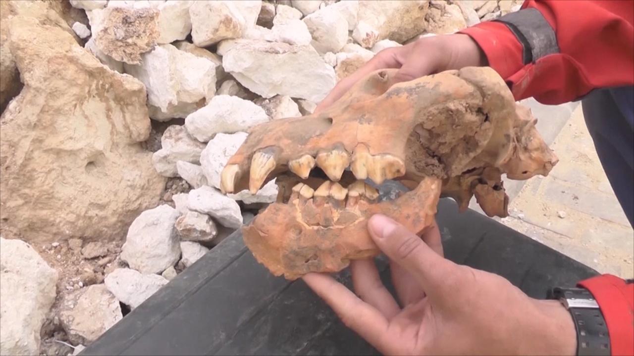 Почти целый череп гигантской гиены нашли в крымской пещере