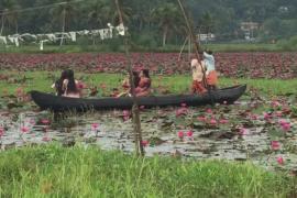 Поля цветущих кувшинок украсили Индию