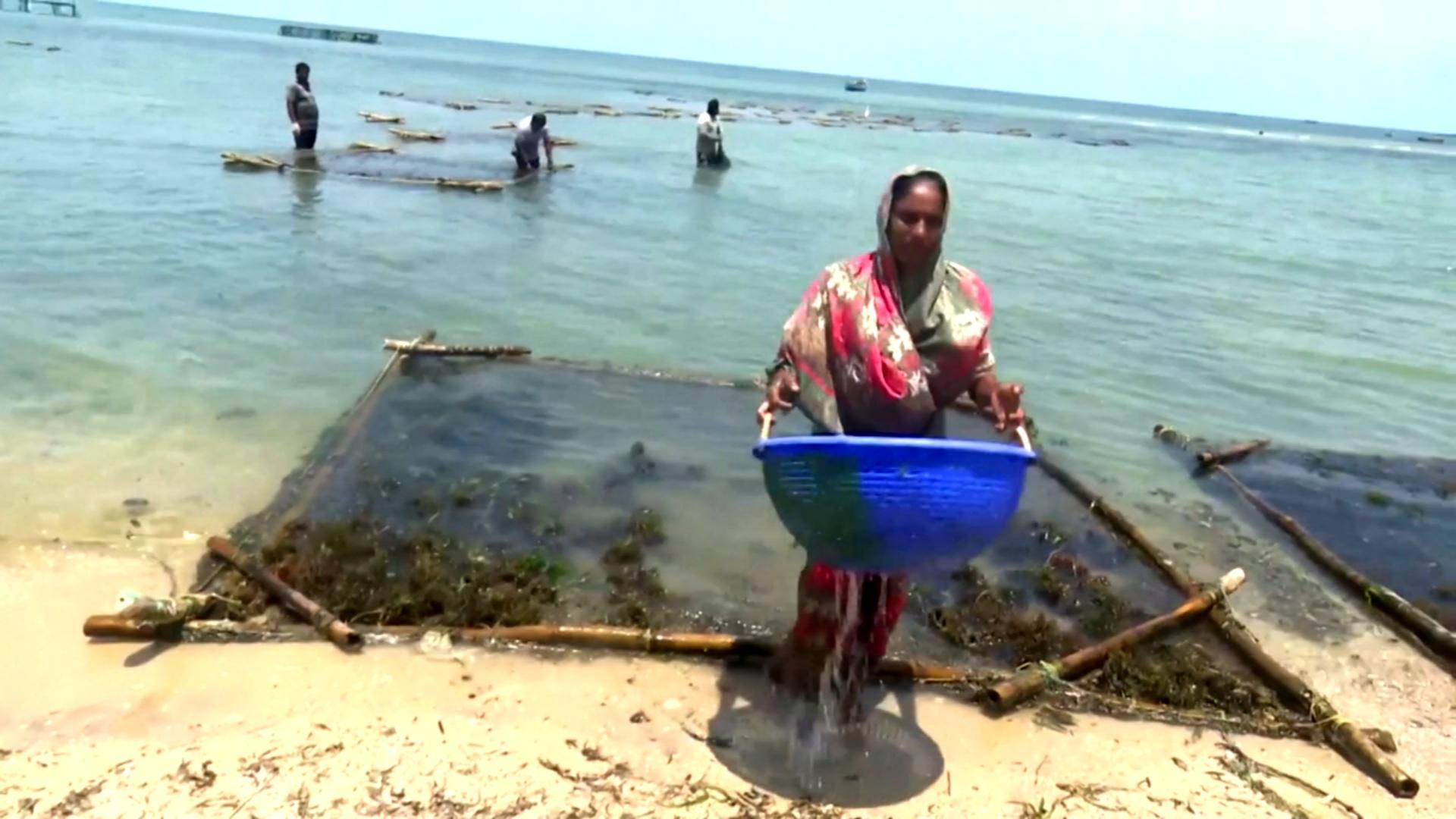 Индийские женщины выращивают морские водоросли и хорошо зарабатывают