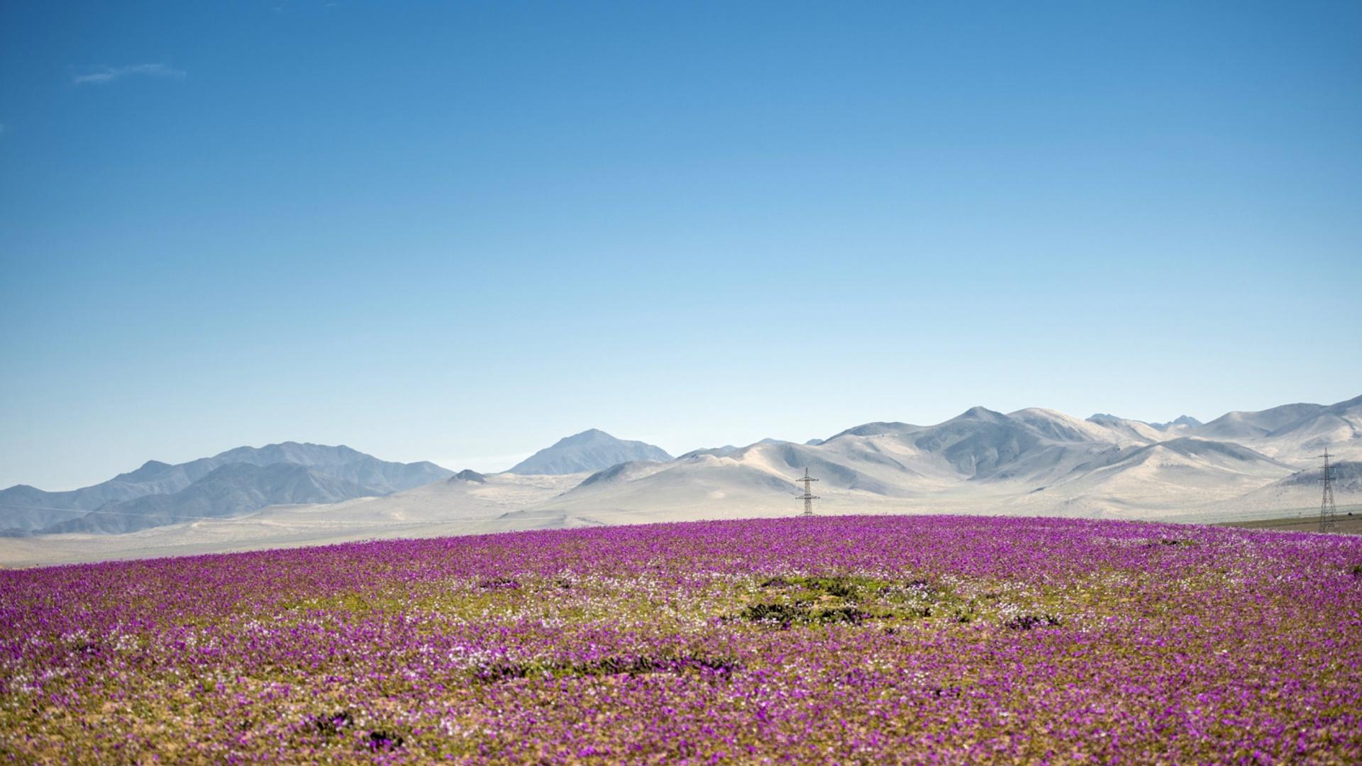 Ковёр сиреневых цветов укрыл пустыню Атакама в Чили