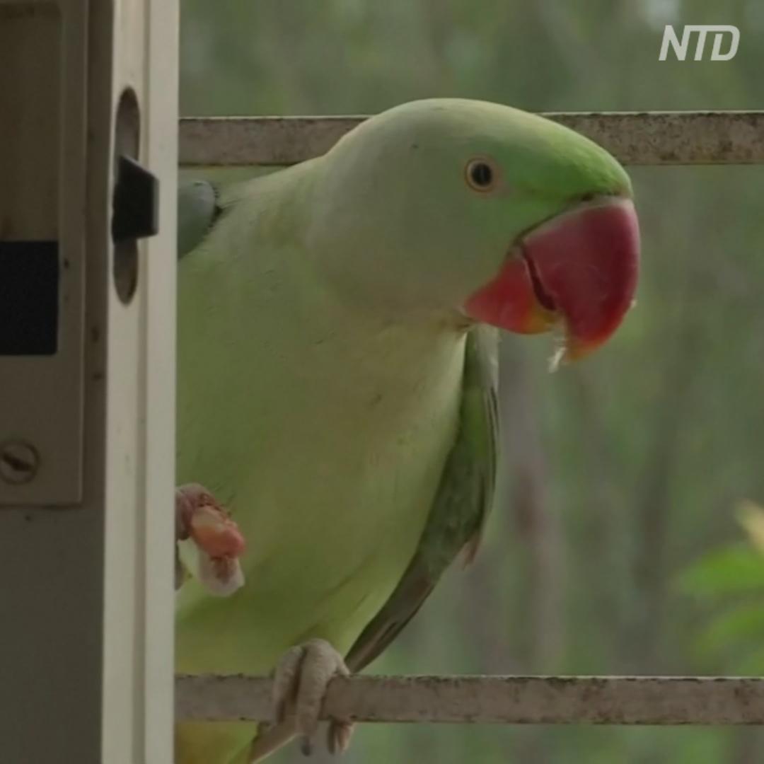 К индийской девушке-банкиру каждый день наведываются попугаи.