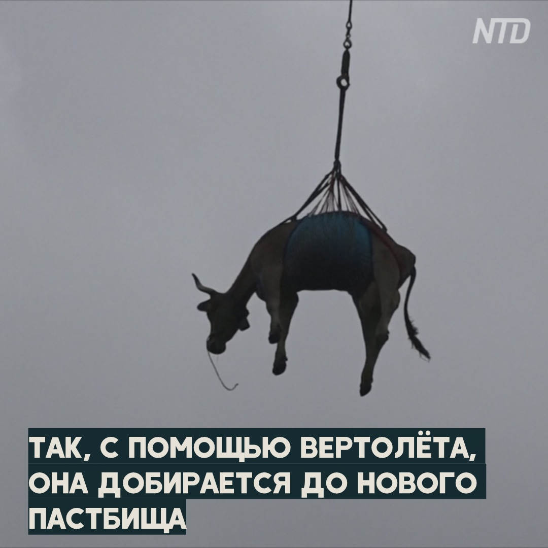Альпийские коровы летают над горами