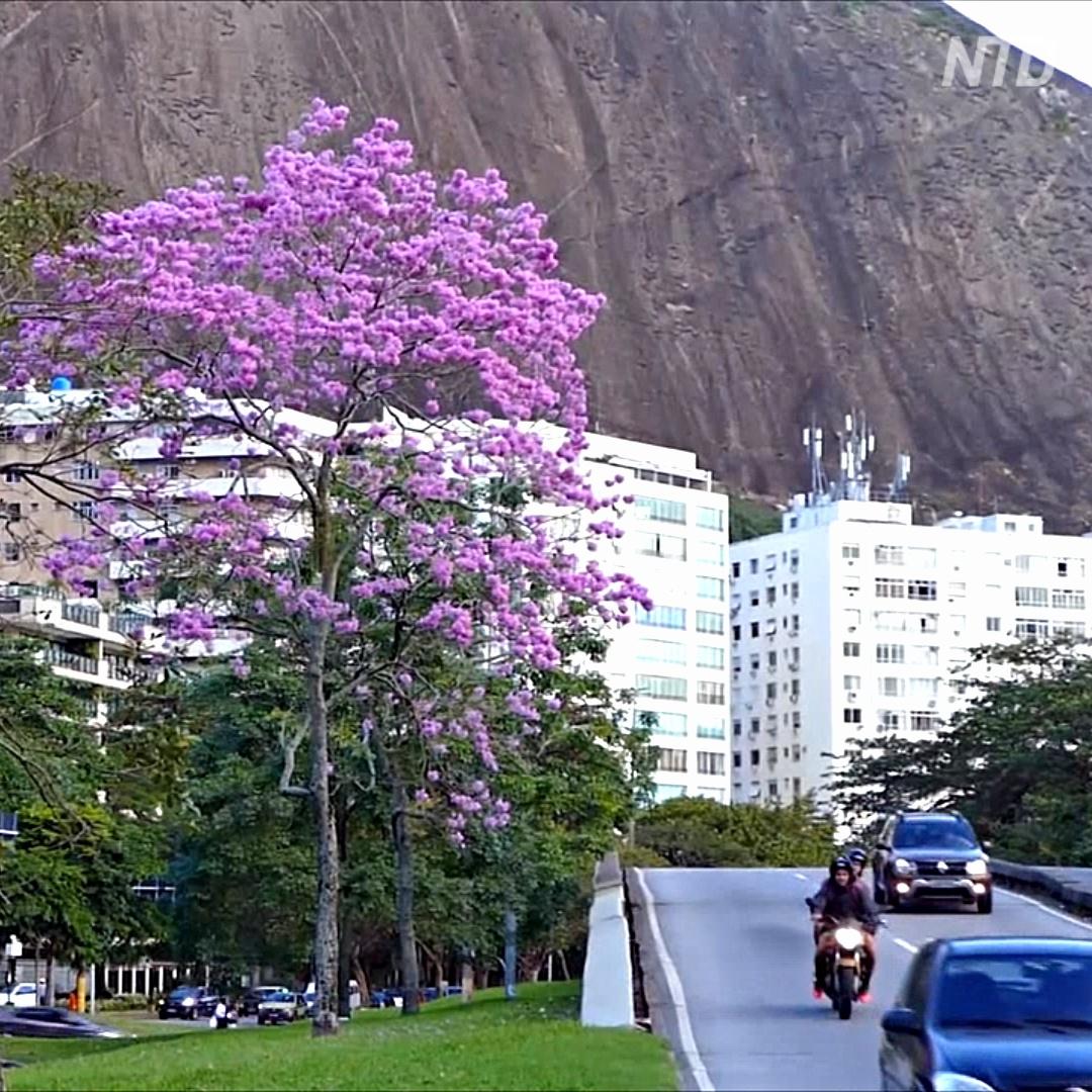 Цветёт всего 6 дней: в Рио любуются цветками табебуйи