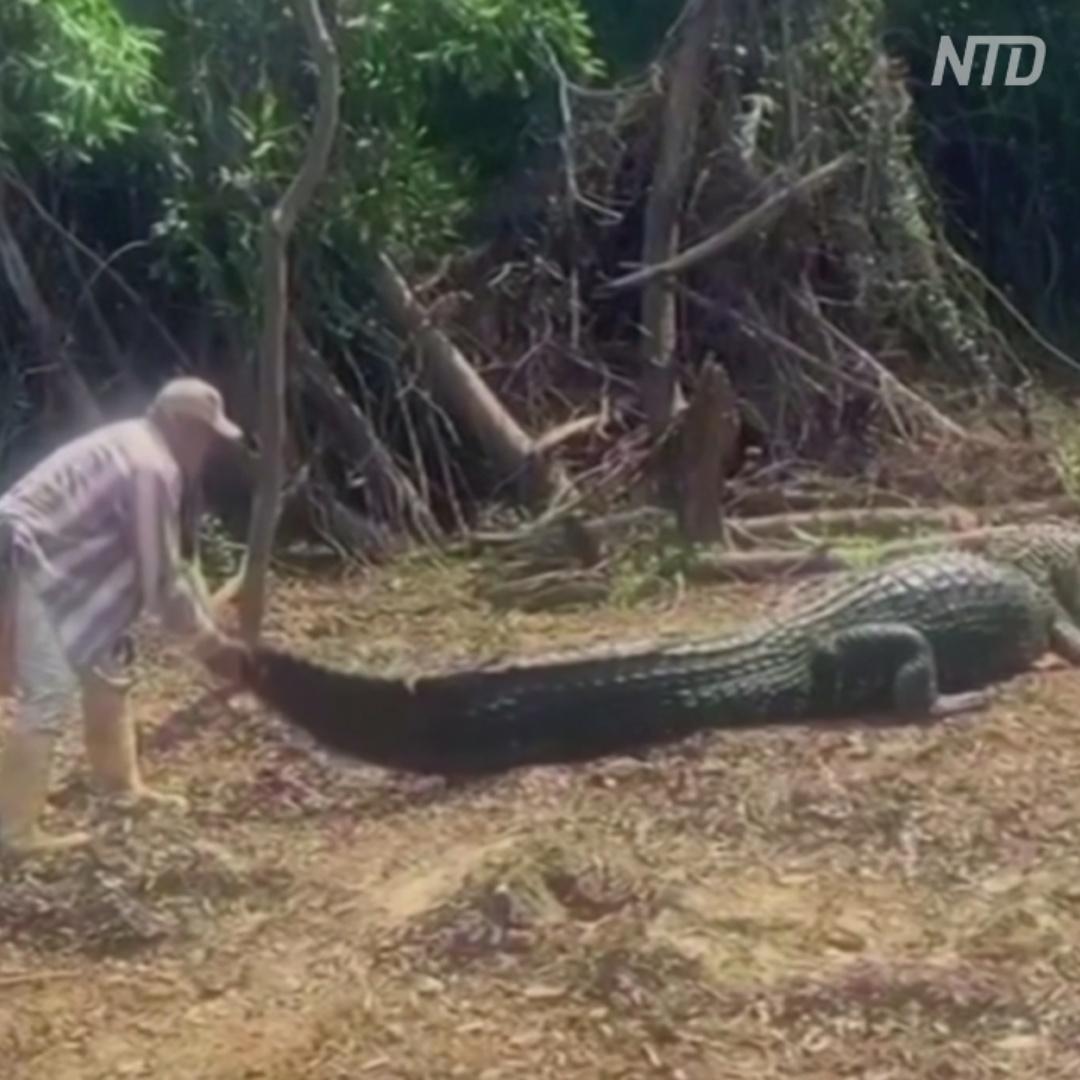 Как гид таскает за хвост своего друга-крокодила