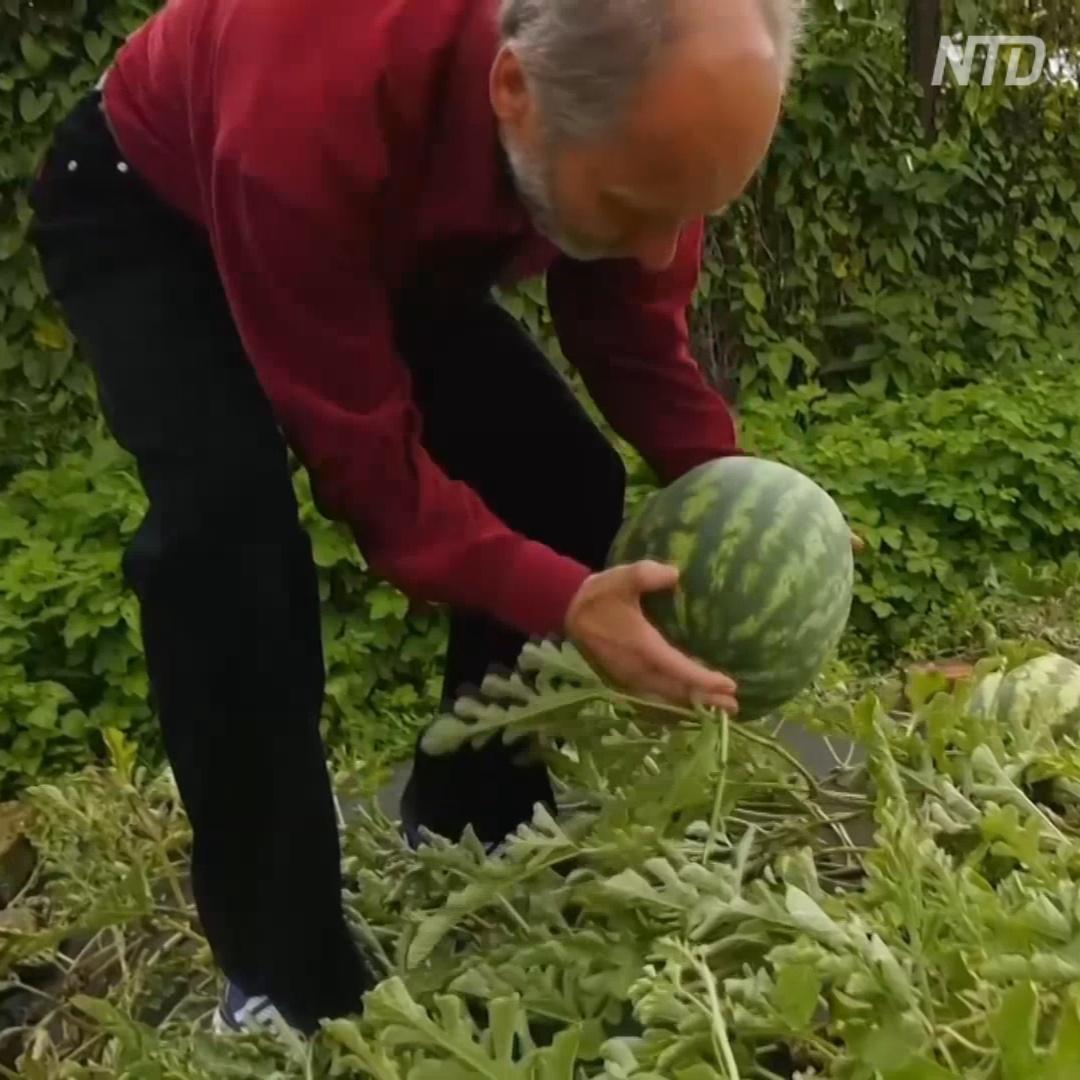 Ананасы и голландские арбузы на ферме в Ярославской области