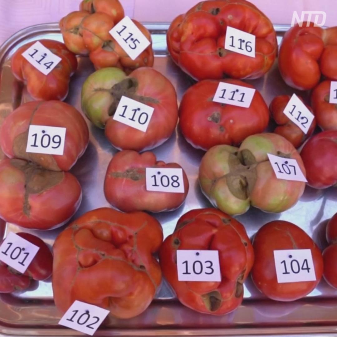 Самый некрасивый помидор выбрали в Испании
