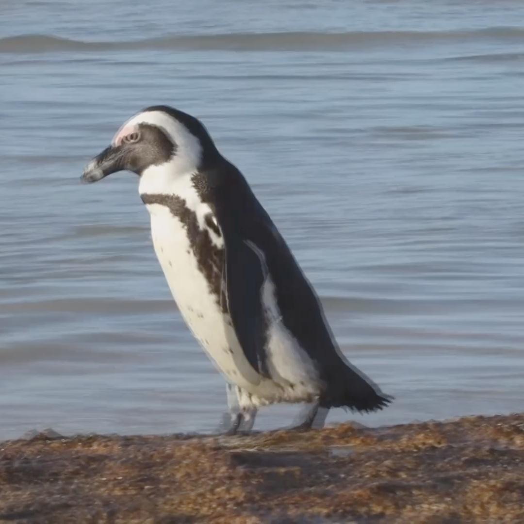Пчёлы убили 60 пингвинов в ЮАР