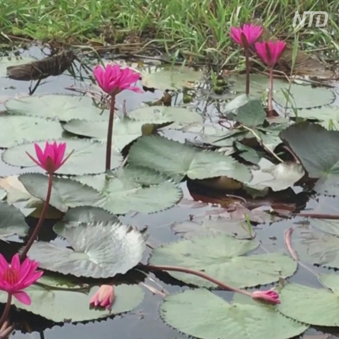 Море кувшинок: болота Индии стали розовыми