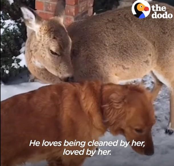 Олень и собака дружат более 10 лет