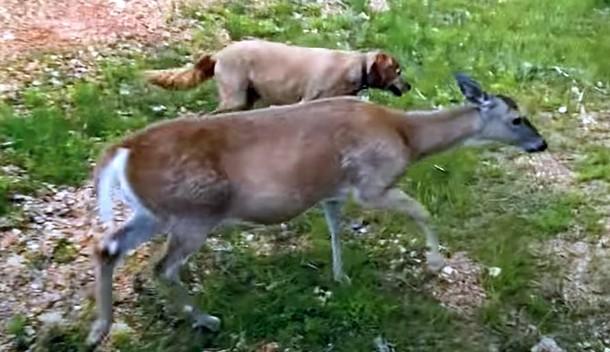 e - Олень и собака дружат более 10 лет