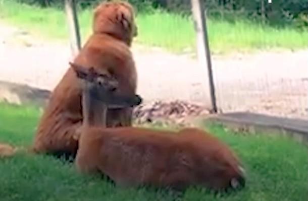 k - Олень и собака дружат более 10 лет