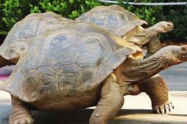 Забег галапагосских черепах устроили в Лондонском зоопарке