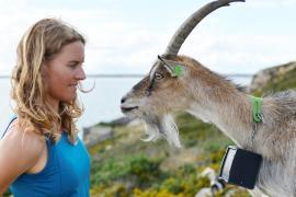 Как редкая порода коз спасает холмы Ирландии от пожаров