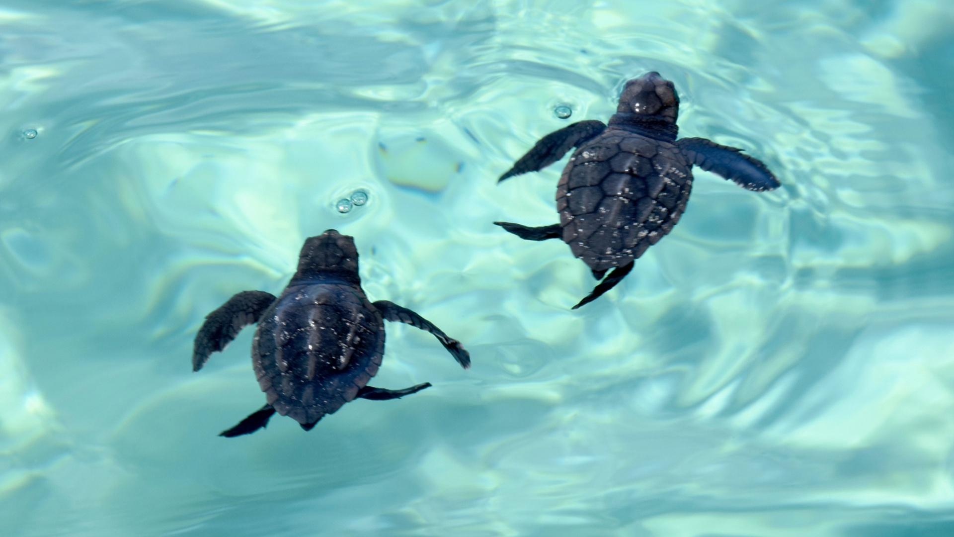 Черепахи-мигранты: логгерхеды впервые вылупились недалеко от Венеции