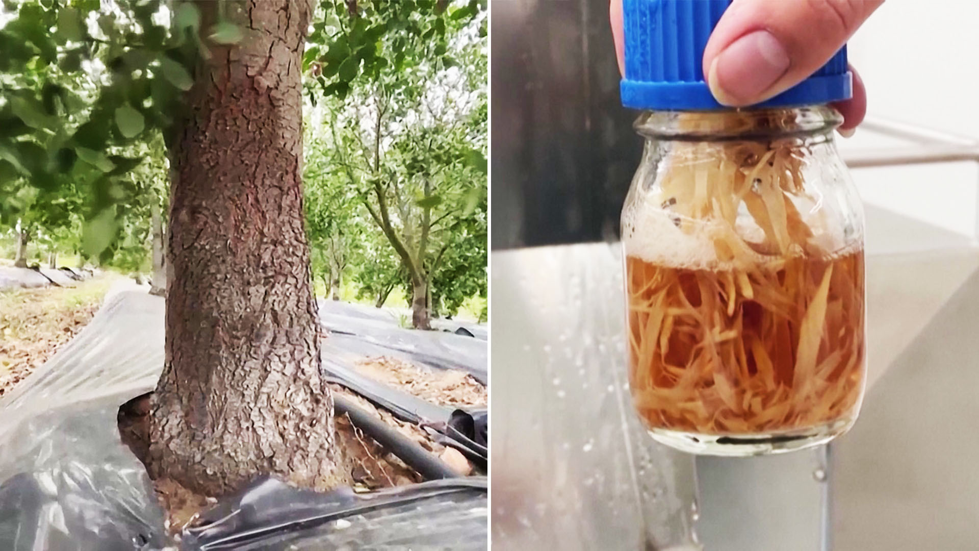 Вакцина из деревьев: где выращивают уникальное средство защиты от COVID