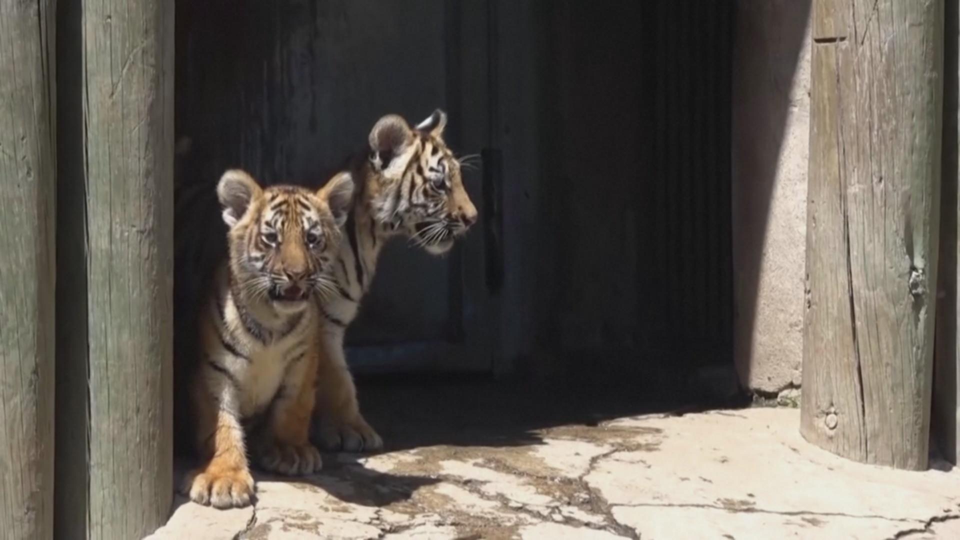 Бенгальские тигрята стали звёздами зоопарка в Мексике