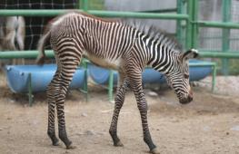 Детёныш зебры Греви дебютирует в зоопарке на севере Мексики