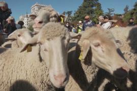 Стада овец заполонили центр Мадрида
