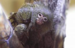 Детёныш мармозетки стал сюрпризом для зоопарка в Северной Македонии