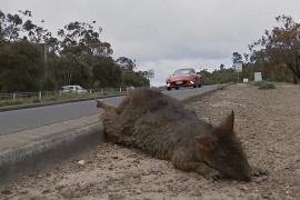 Животные гибнут под колёсами: жители Тасмании нашли выход