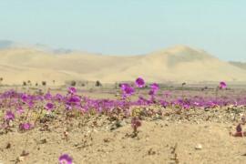 Ковёр из цветов украсил пустыню в Чили, несмотря на засуху