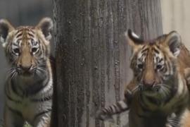 Тигрята очаровали гостей зоопарка в Мексике