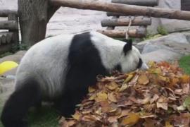 Что делают панды осенью