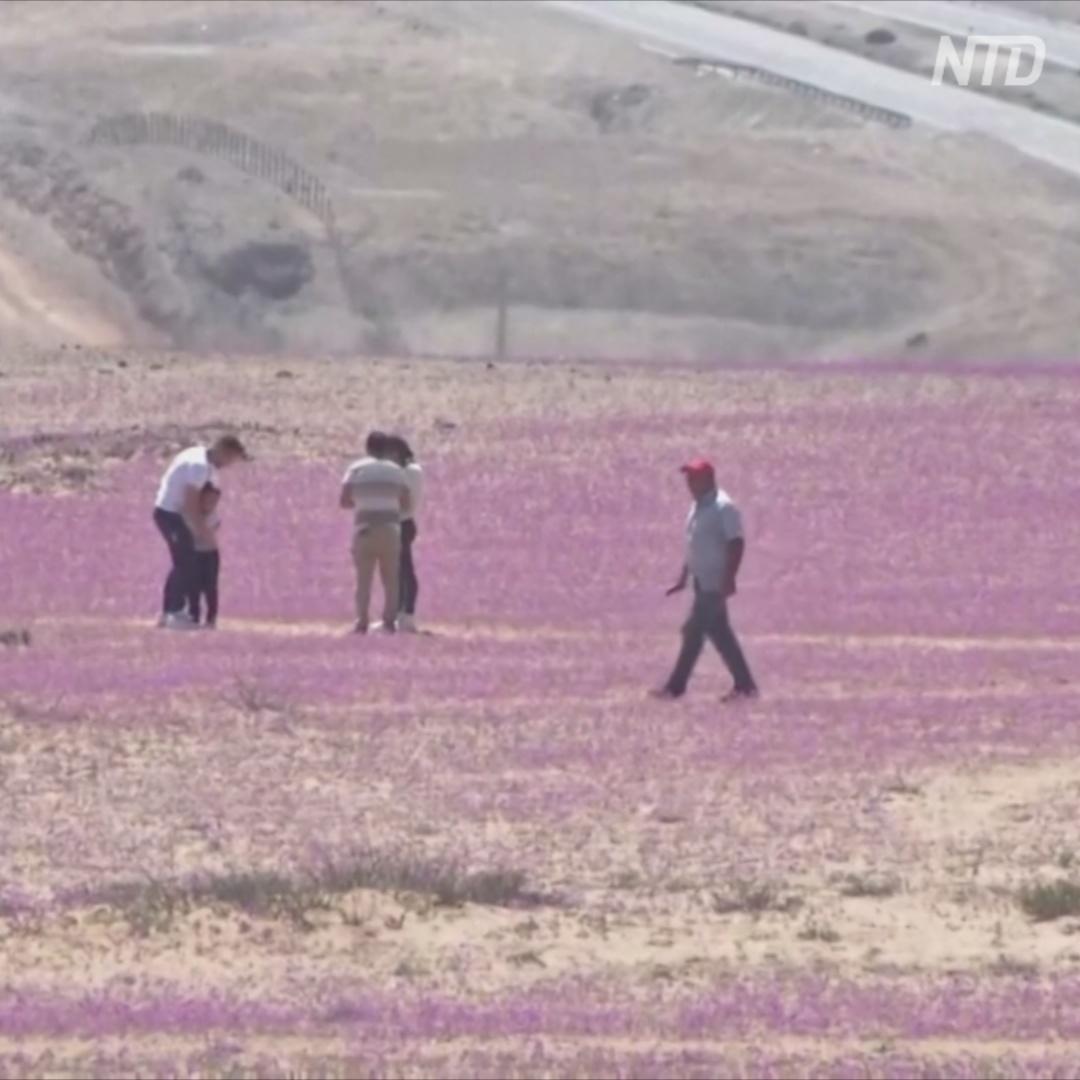 Сиреневый ковёр из цветов в самой засушливой пустыне планеты