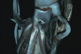 Неуловимый гигантский кальмар снят на видео