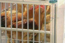 Птичий грипп возвращается в Китай?