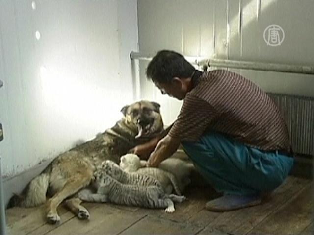 Четырех тигрят вскармливает собака
