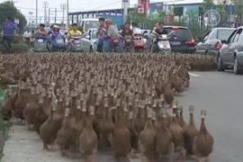 Машины стоят: 5000 уток идут на прогулку