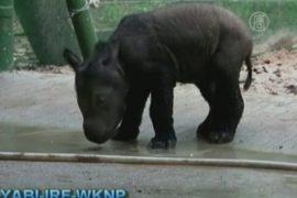 В неволе родился редкий суматранский носорог
