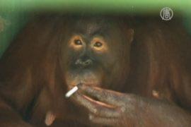 Орангутанга заставят бросить курить