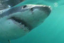 Акул хотят лишить статуса охраняемых животных